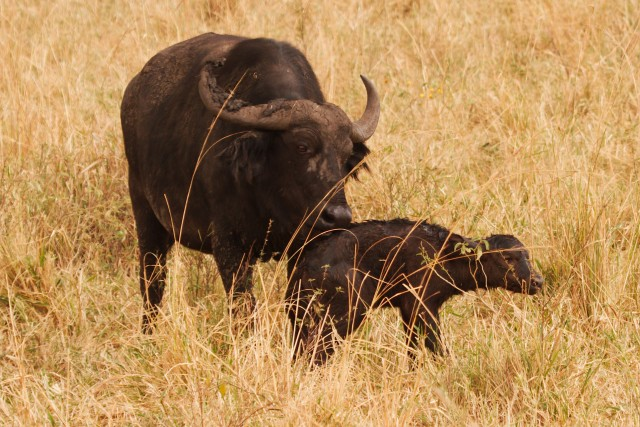 Cape Buffalo Calf (play me)